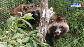 В кировском Центре реабилитации животных спасли трех енотовидных собак