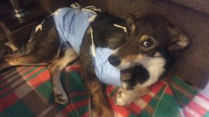 В Кирове возбудили уголовное дело из-за гибели пса Честера