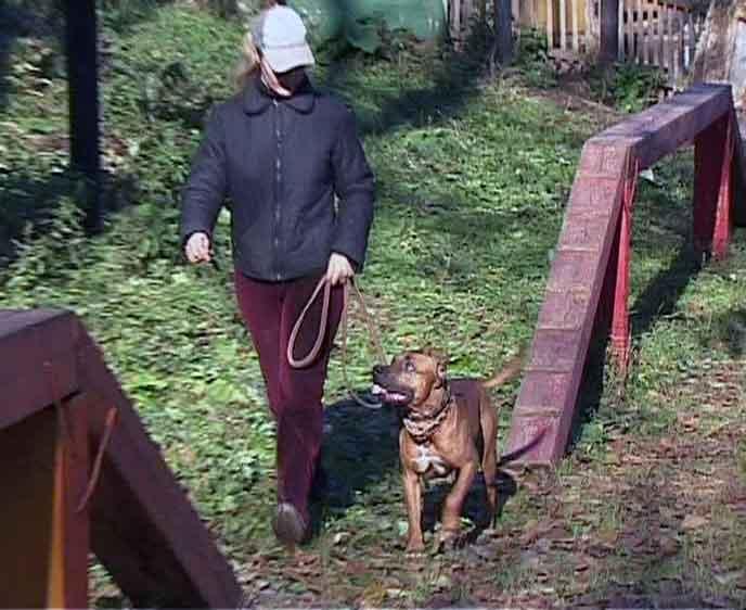 Домашнее содержание бойцовских собак