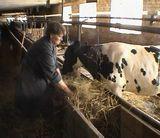 Молоко у коровы на языке