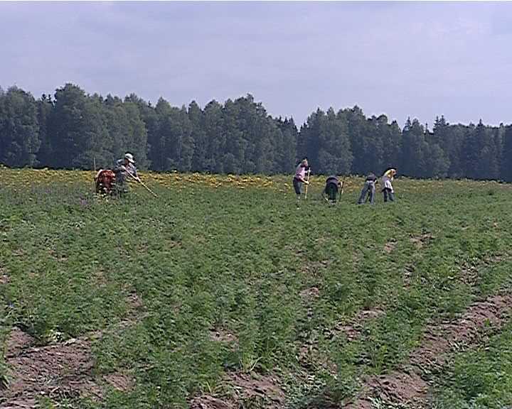 Вместо тюремных нар - борьба за урожай и высокие надои