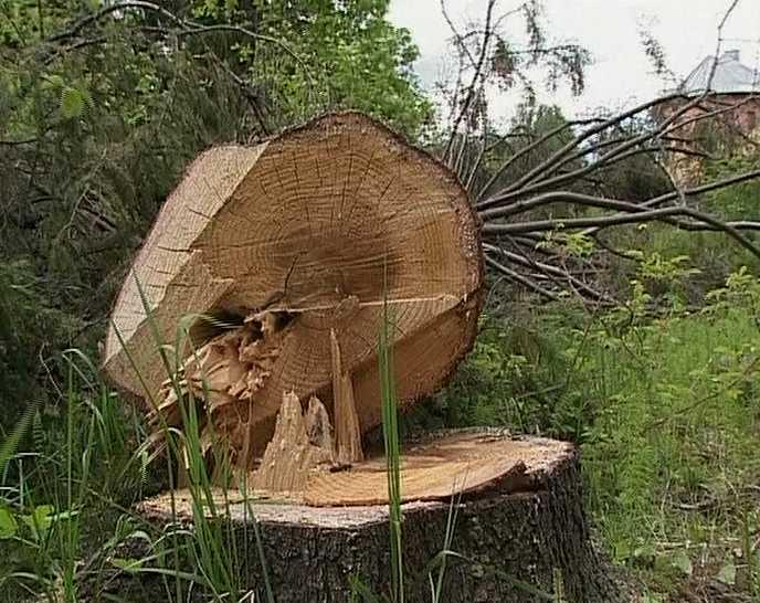 Незаконные вырубки губят лес
