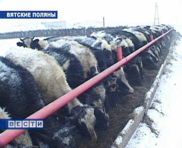 Коровы будущего из Ершовки