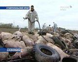 Африканская чума угрожает вятским свинкам