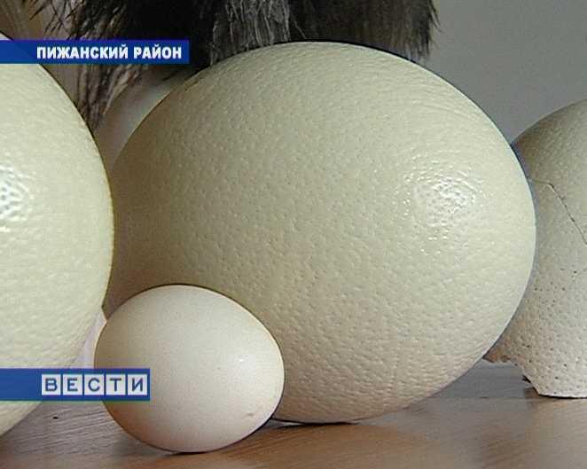 Омлет из страусиных яиц