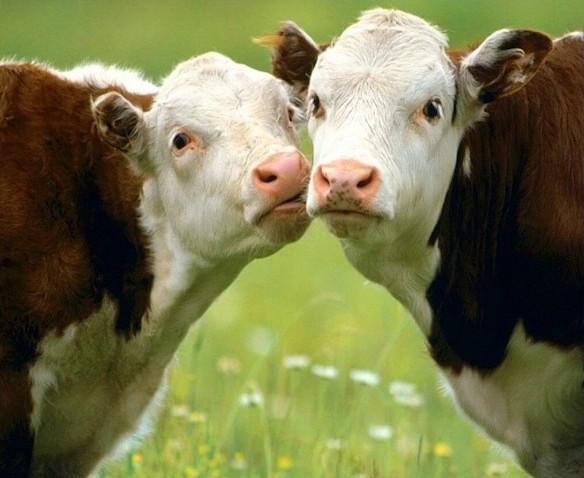 В Кировской области появились бычки голштинской породы