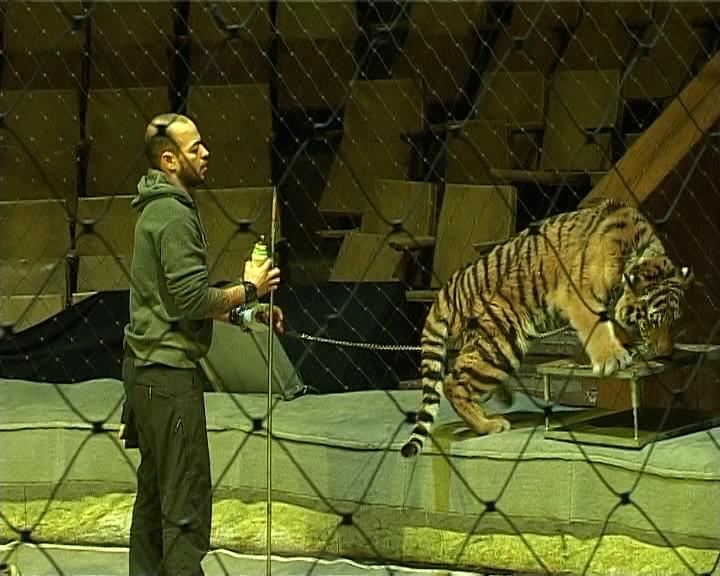 Питомец сочинского зоопарка - полугодовалый уссурийский тигр Осус в программе