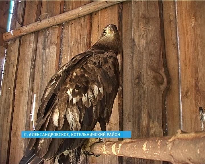 В Котельничском районе охотники спасли уникальную птицу орлана-белохвоста