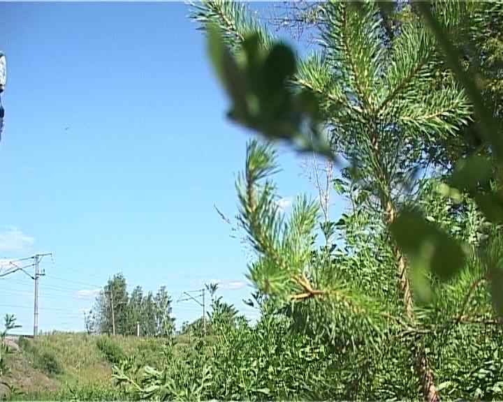 Сосны на месте крушения состава в Нововятске
