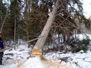 В Кикнурском районе дерево убило вальщика леса.