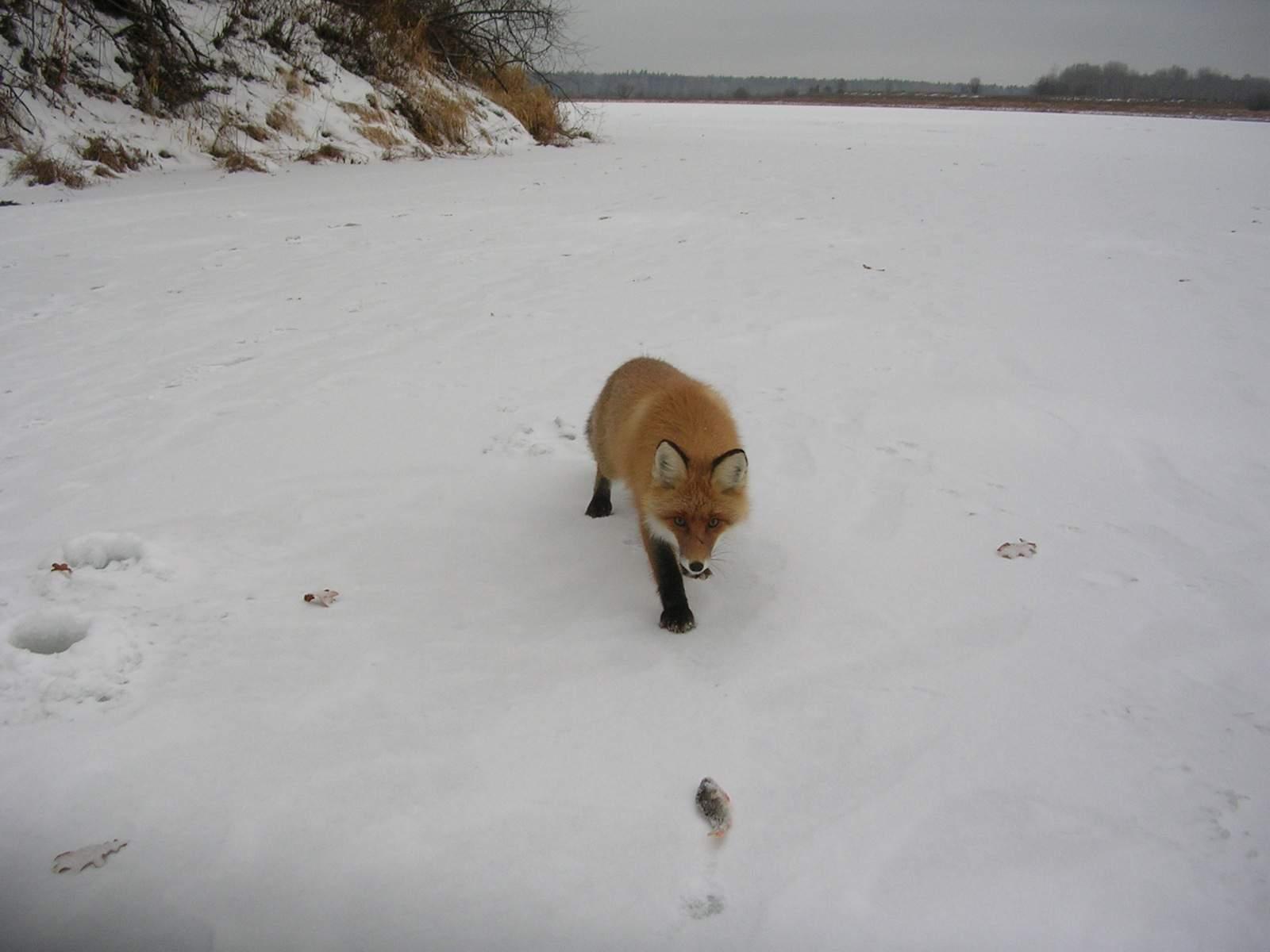 В Нургушском заповеднике рыбаки подружились с дикой лисой.