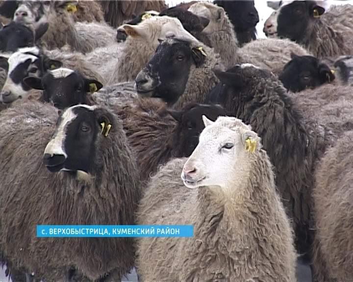 Профилактика бруцеллеза овец