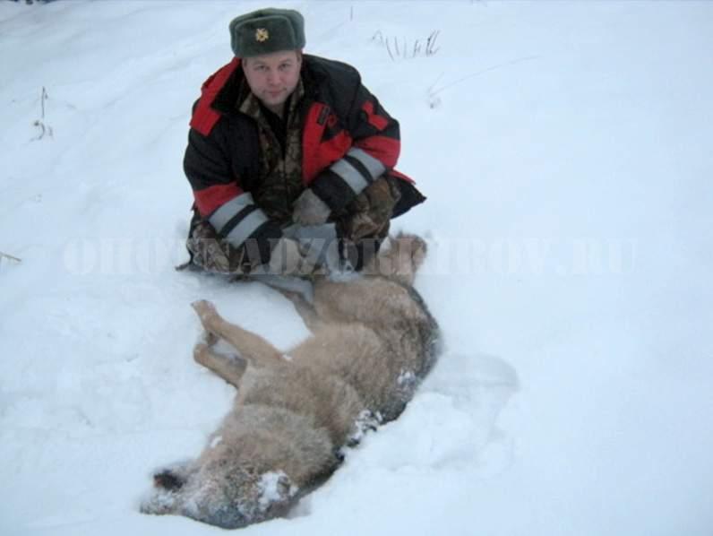 В Юрьянском районе охотникам удалось добыть крупного волка.