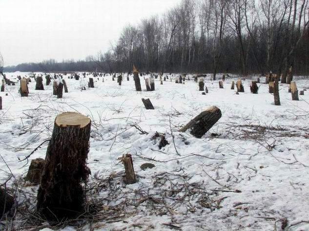 В Омутнинском районе незаконно вырубили 97 елей.