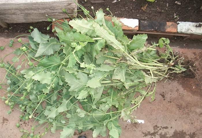 В Санчурском районе задержали местного жителя с маковой соломой.