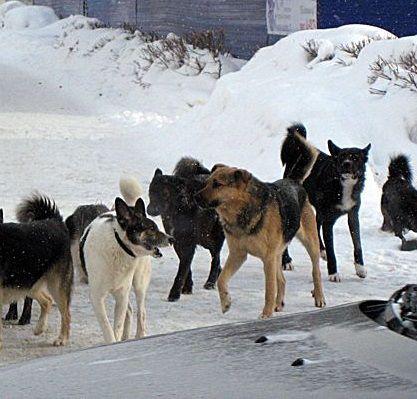 В Кирово-Чепецке отловили 49 бродячих собак.