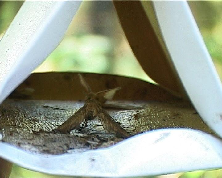 В лесах региона вновь обнаружен опасный вредитель - сибирский шелкопряд