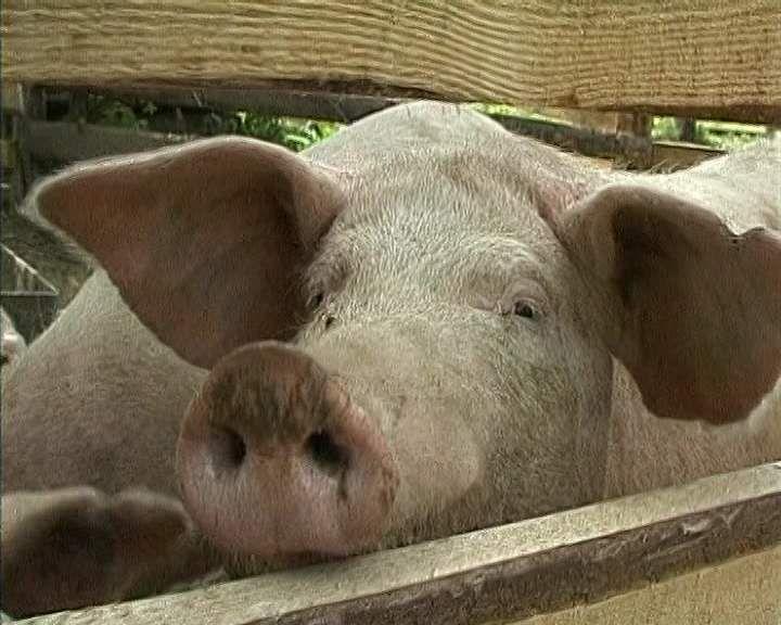В Кировской области против чумы привито более 200 тысяч свиней