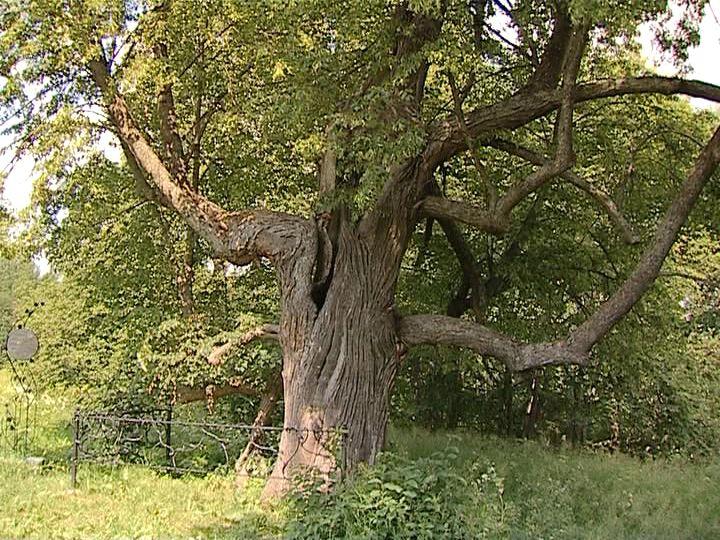 Кировская липа стала памятником живой природы России