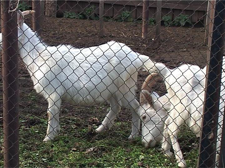В Кировской области бешенство выявили у козы