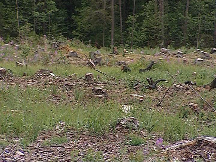 В Санчурске под топор пошел лес, рубка которого запрещена