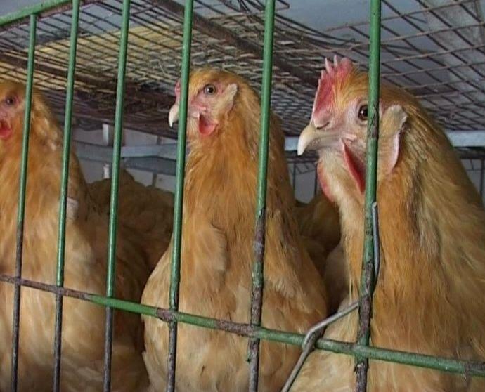 Регион атакуют опасные вирусные инфекции: бешенство и грипп птиц