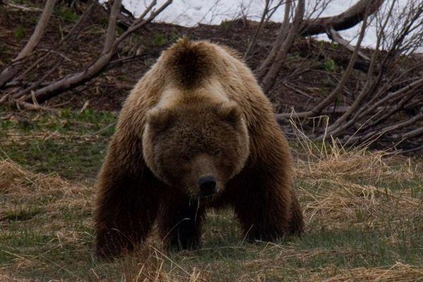 В пригородах Кирова появились кабаны и медведи.