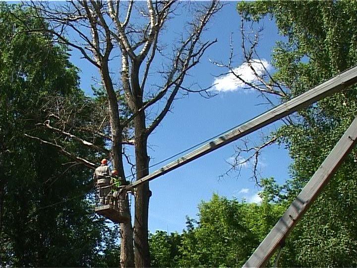 В Кирове вырубают аварийные деревья