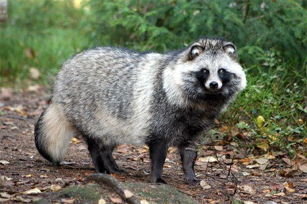 В Кировской области выявлено два новых случая бешенства среди диких животных.