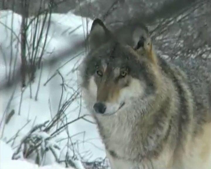 В Кировской области утверждён план по снижению численности волка
