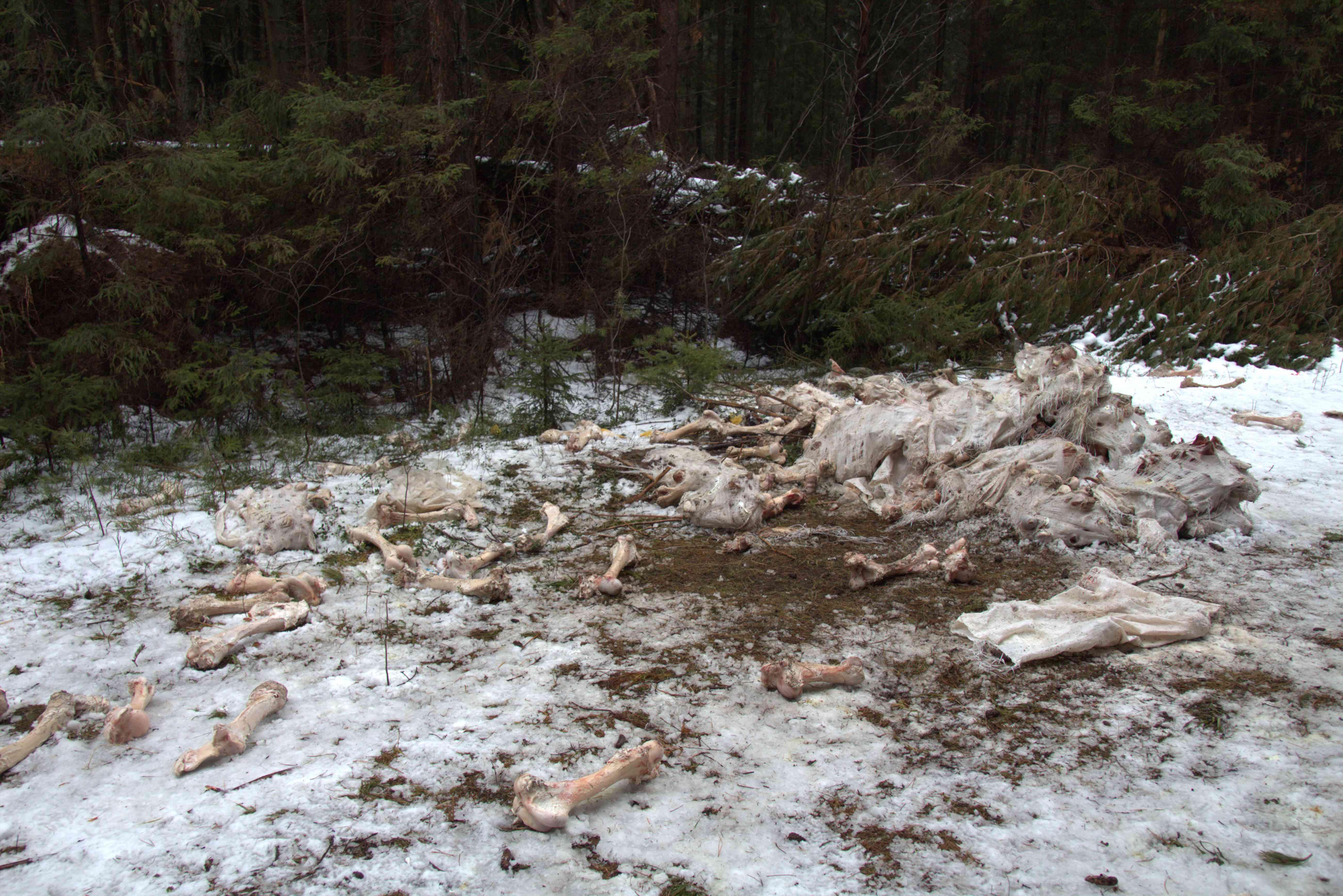 Установлено предприятие, устроившее свалку останков животных у деревни Нижние Булдаки.