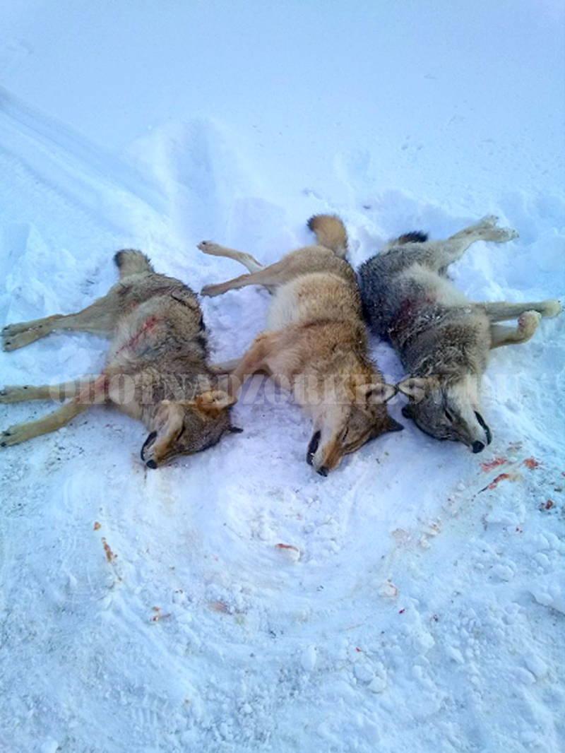 В Верхошижемском районе охотники уничтожили стаю волков.