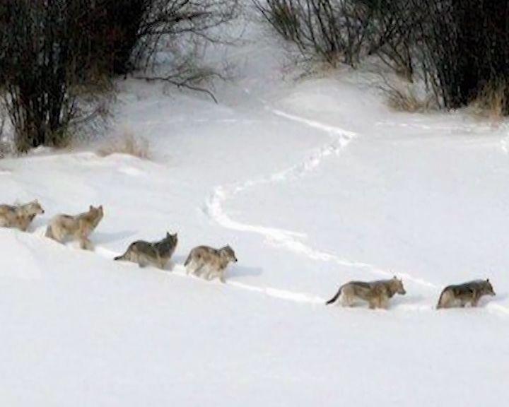 Вятские охотники основательно взялись за волков