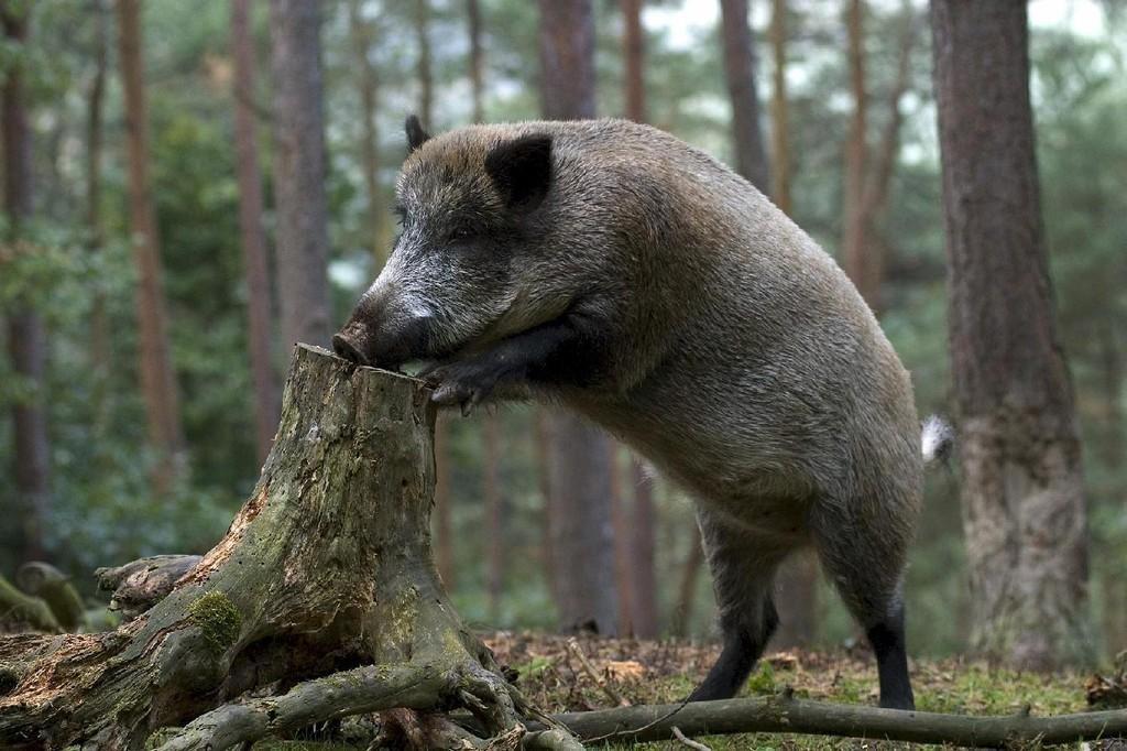 В Кировской области завершается сезон охоты.