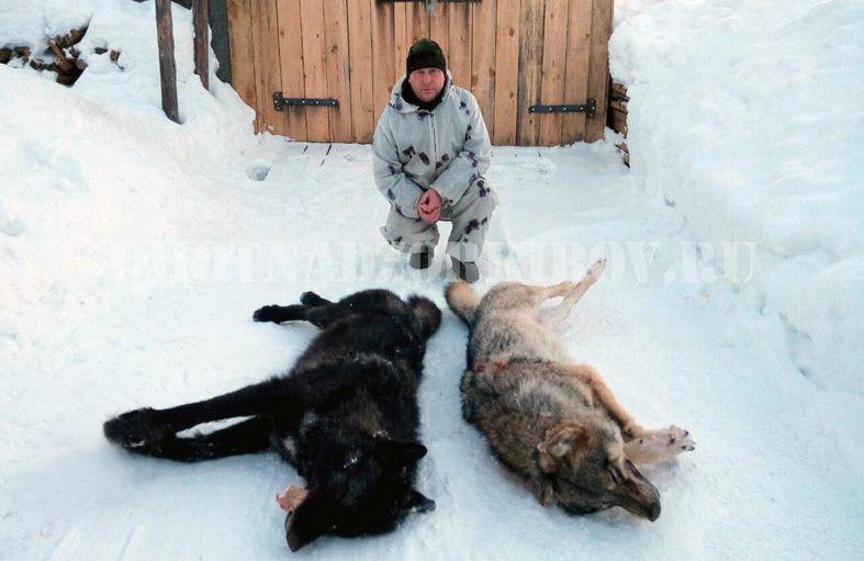 В Кировской области охотники добыли второго волка-меланиста.