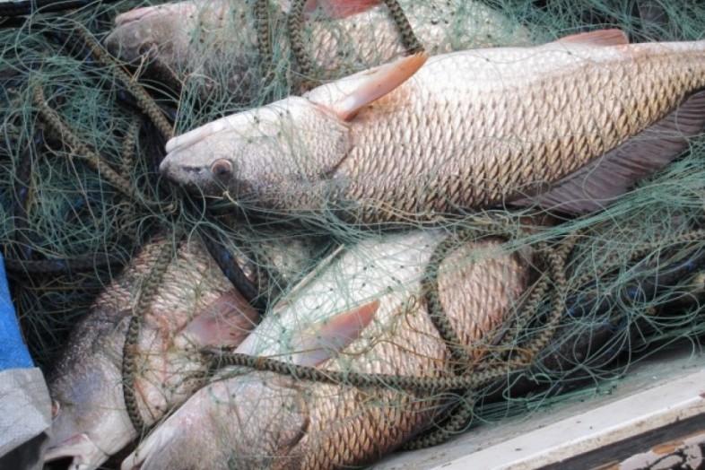 В Нолинске завели уголовное дело на рыбака, ловившего сетью карпов.