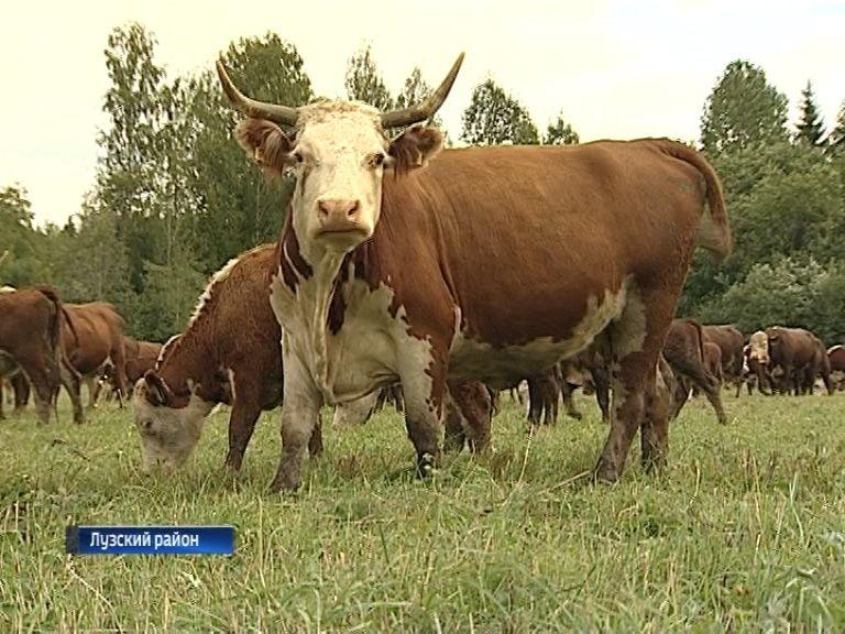В сельхозпредприятиях набирает популярность элитная порода КРС