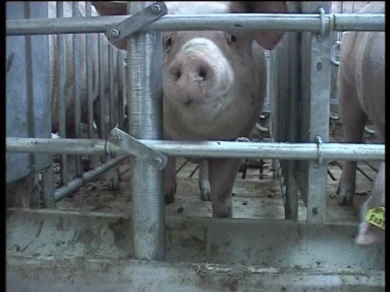 Чуму свиней обнаружили у границ Кировской области