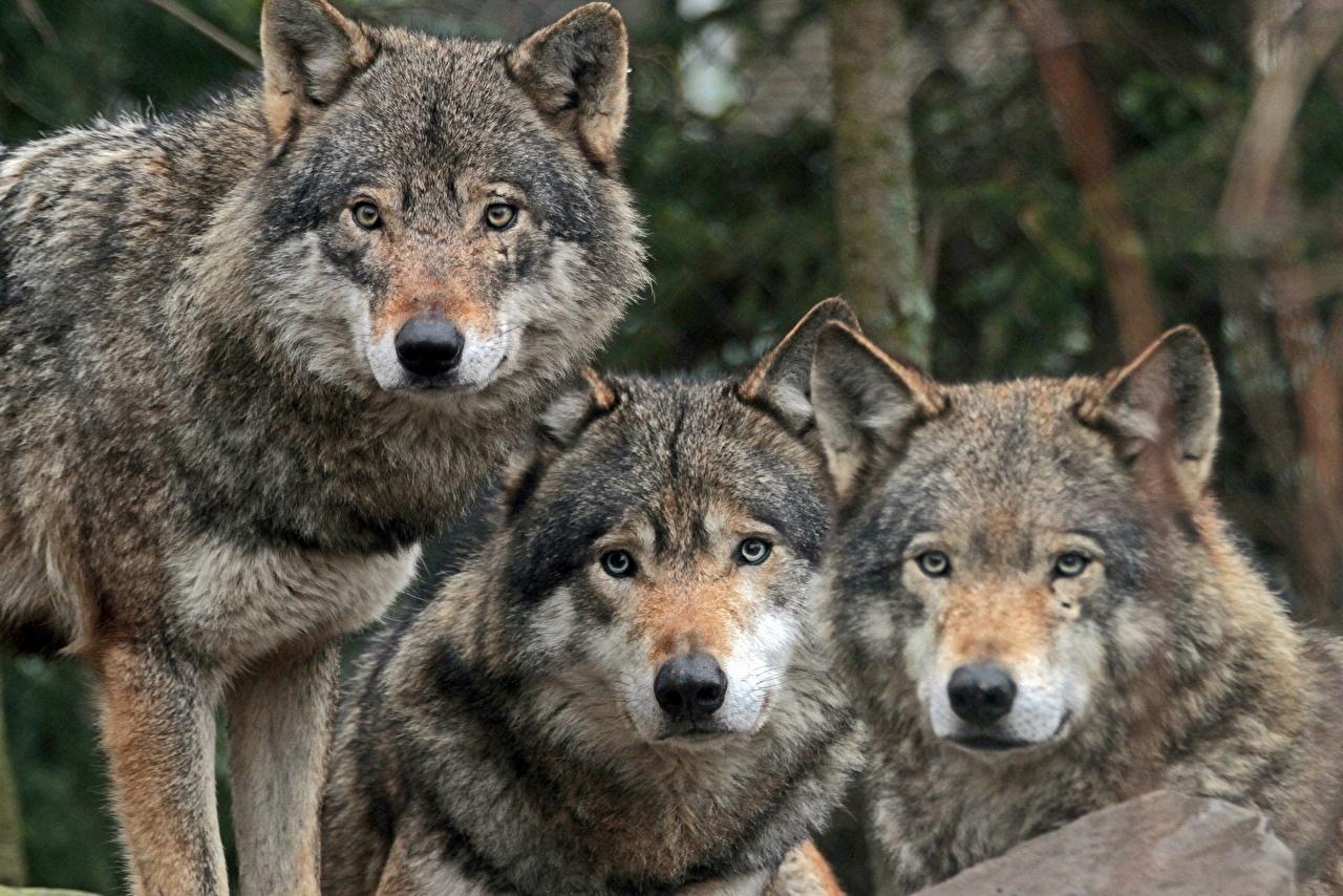 В Кировской области продолжается охота на волков.