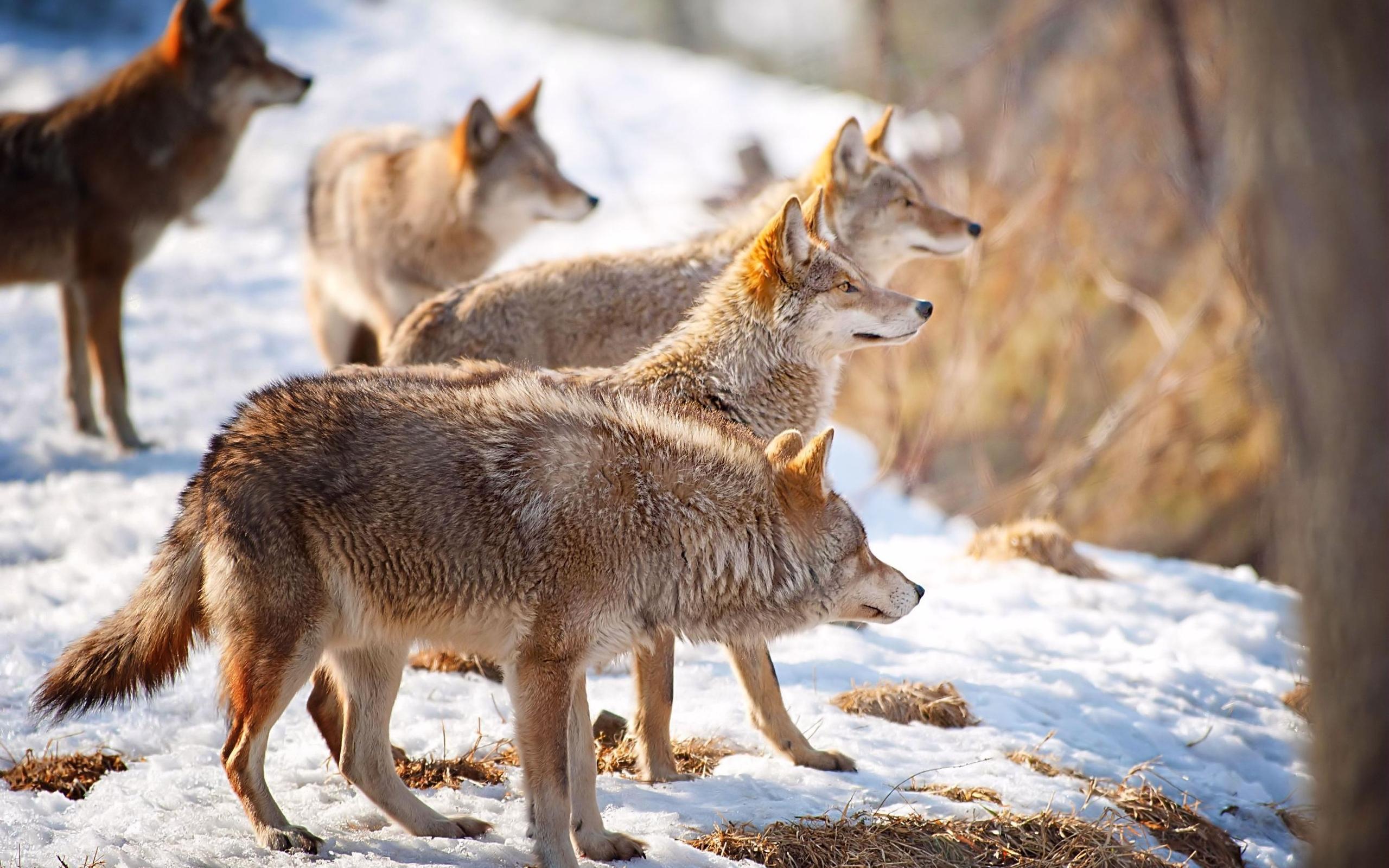 В Кировской области в течение года добыли 299 волков.