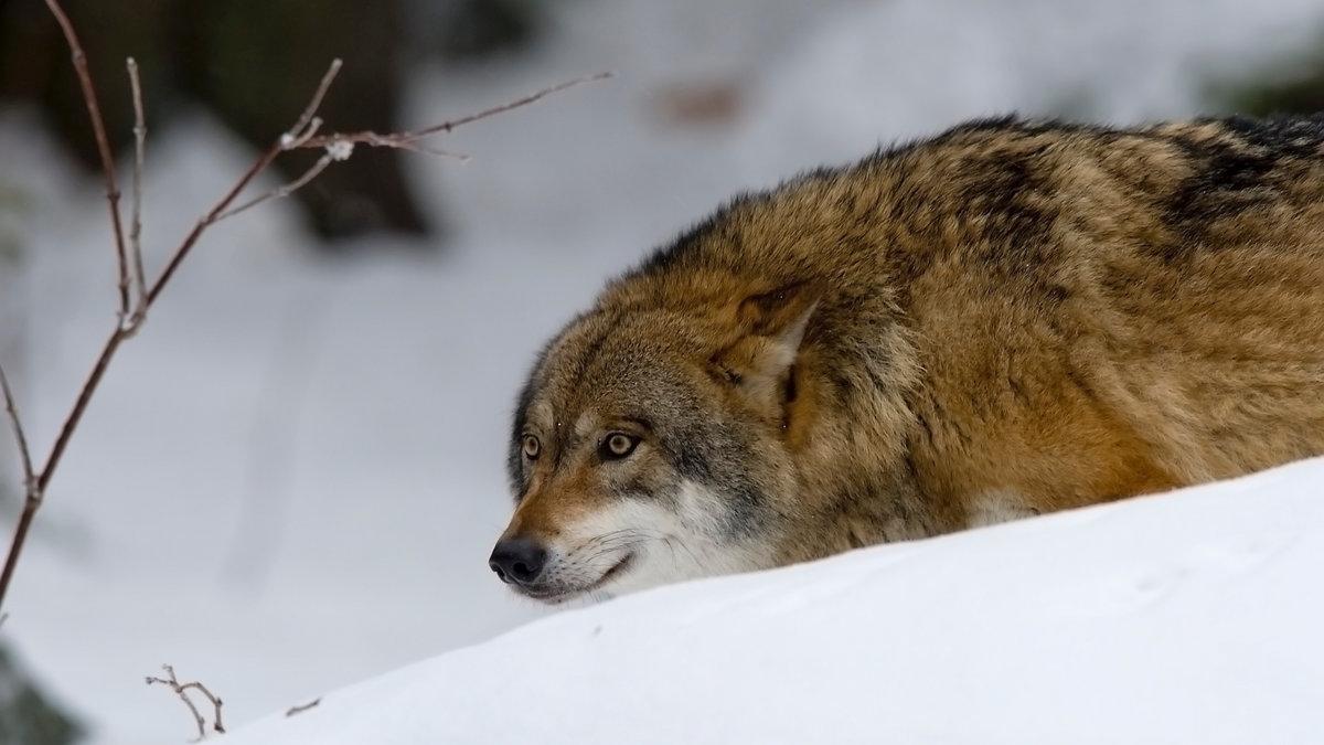 В Кировской области продолжается работа по снижению численности волков.