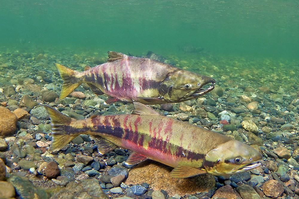 В Кировской области ввели ограничения на вылов рыбы.