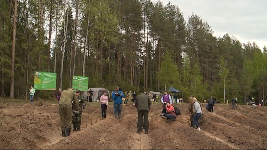 В Порошино прошла высадка лесных культур с использованием меча Колесова