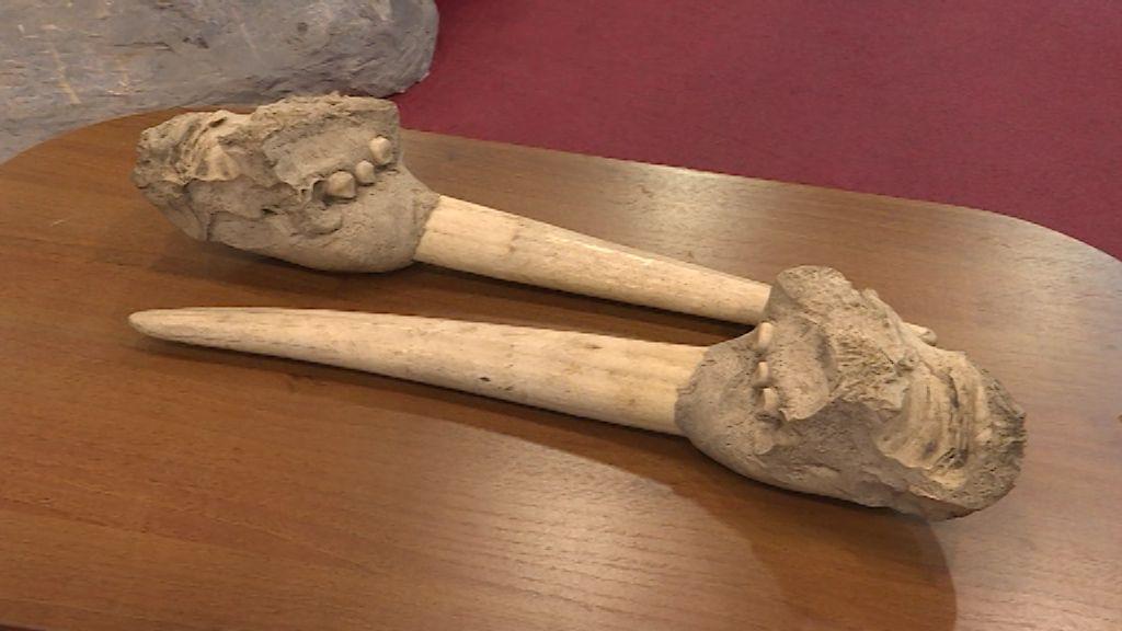 Кировчанка подарила палеонтологическому музею клыки моржа, которым около 1000 лет