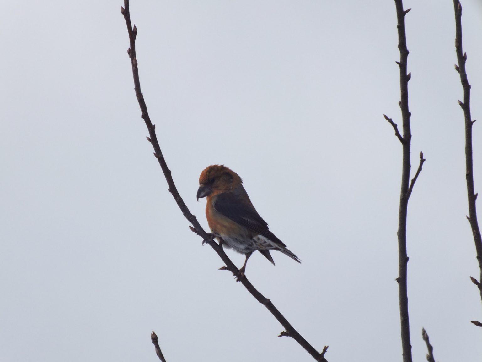 Услышать пение птиц можно и зимой.