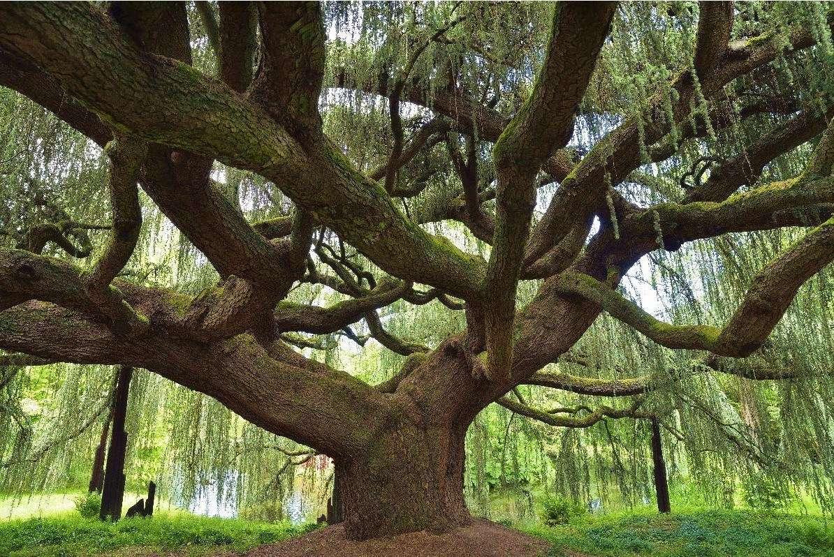 Кировчан приглашают проголосовать за Европейское дерево года.