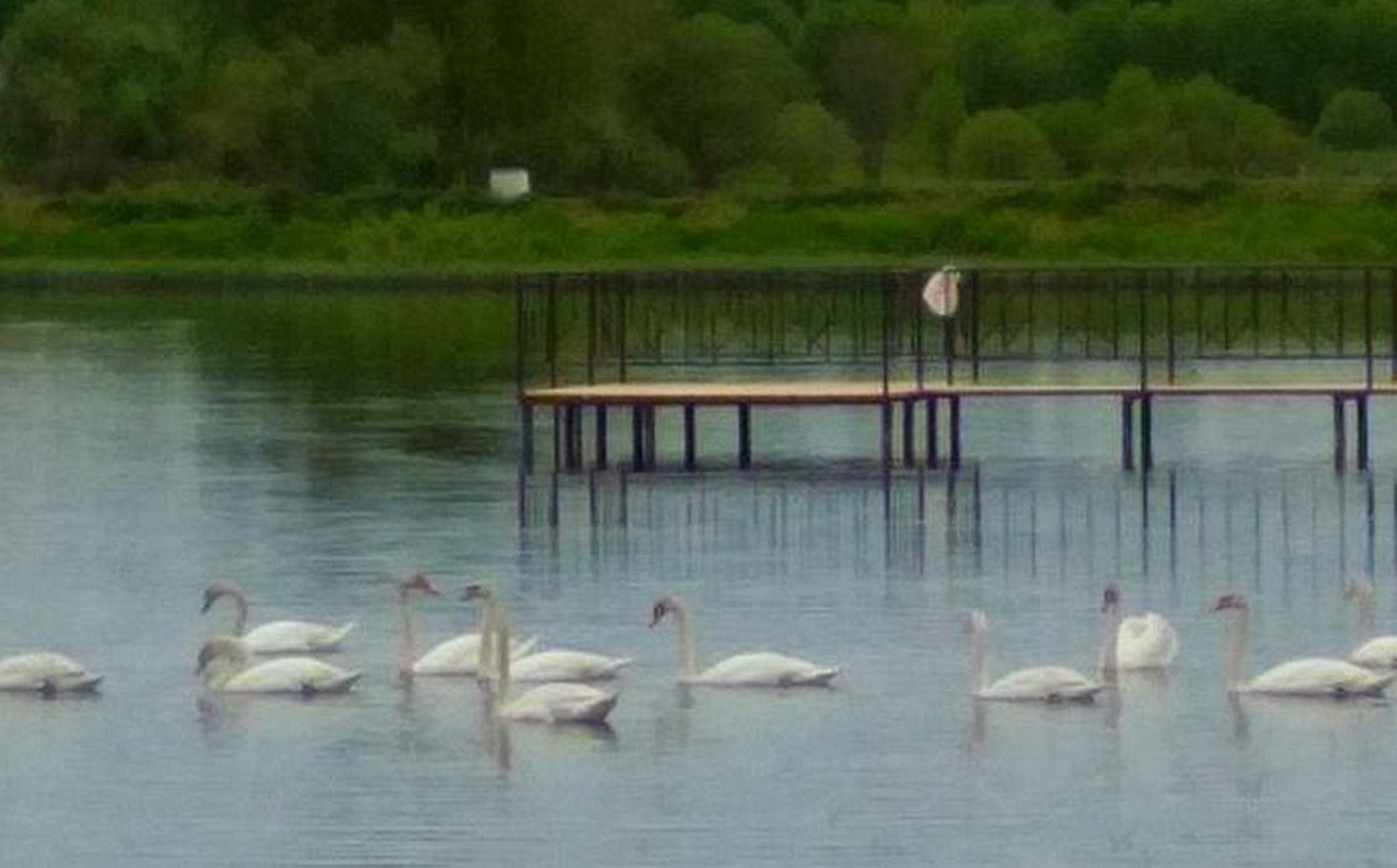 Стая лебедей поселилась на пруду в Верхошижемском районе