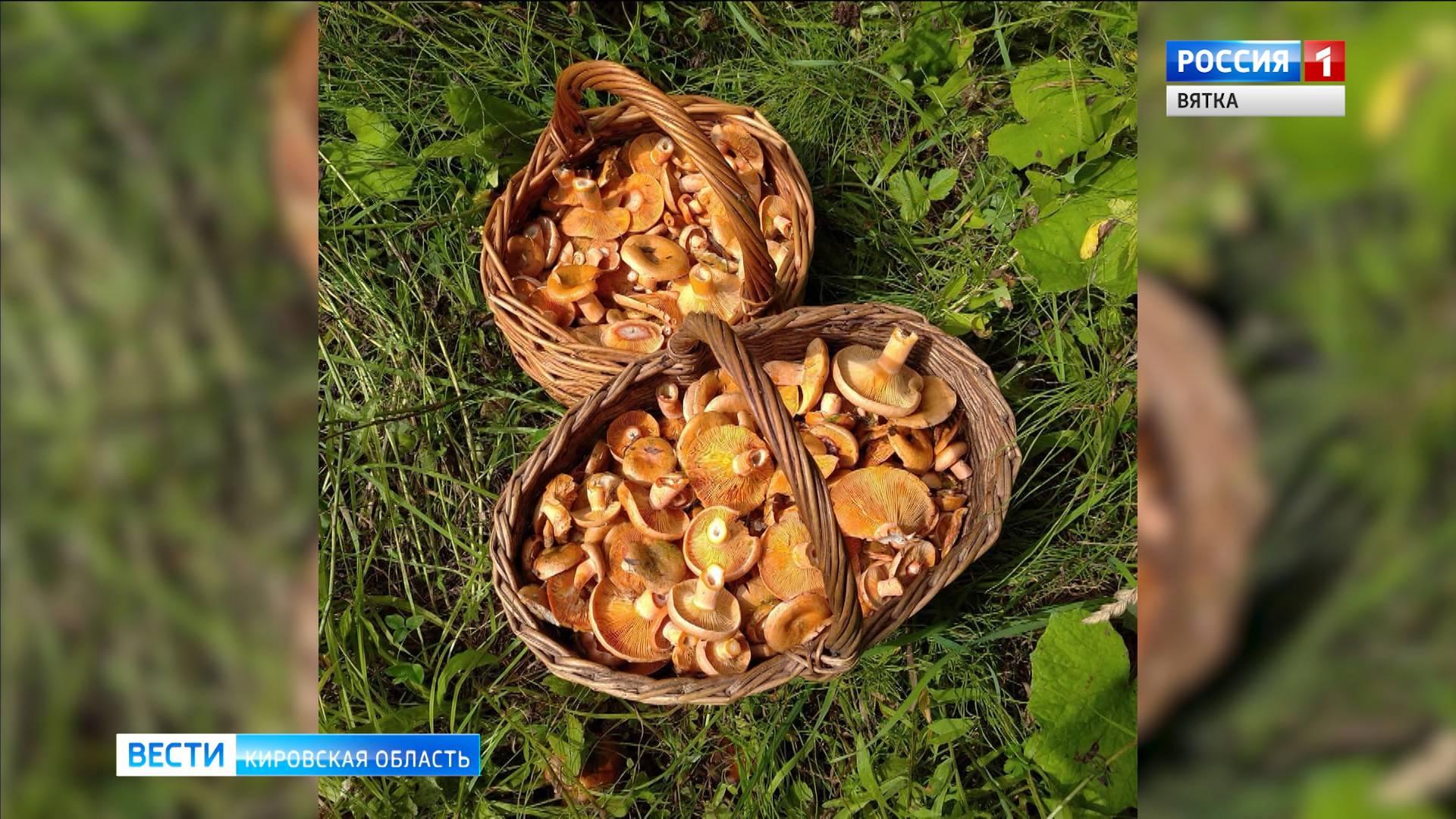 Кировские грибники рассказали о большом урожае рыжиков