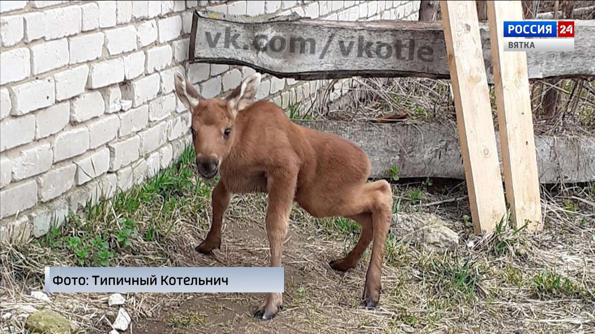 На ферме в Котельничском районе приютили лосёнка