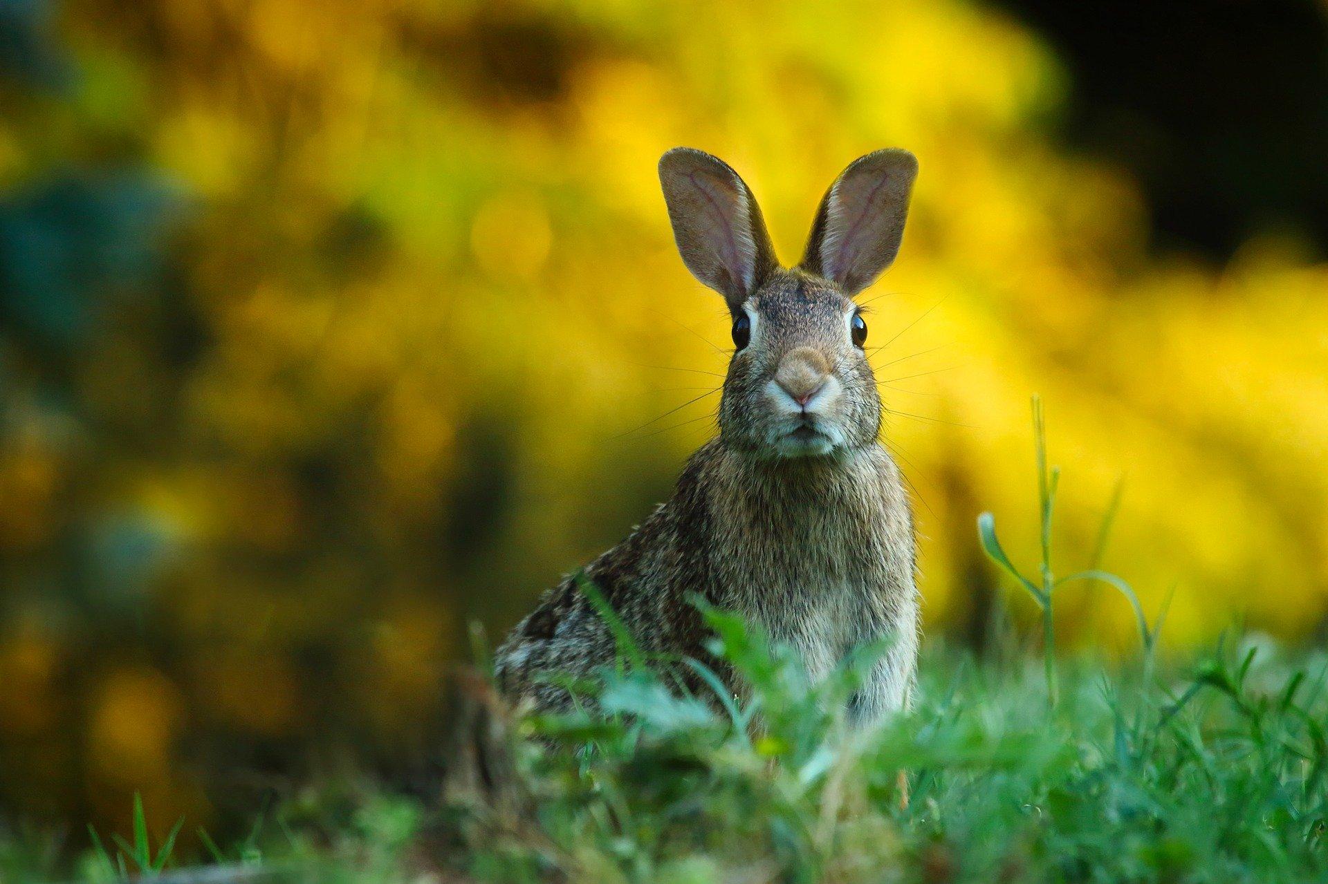 В Кировской области открылась охота на зайца, лисицу и енотовидную собаку